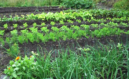 Fresh Vegetables Growing Locally in Claremorris